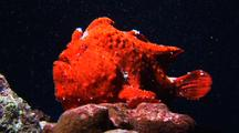 Orange Frogfish Waiting For  A Prey