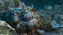 Crocodile Fish Close Up Eye