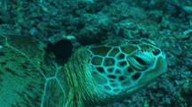 Green Turtle At Cleaning Station, Close Up