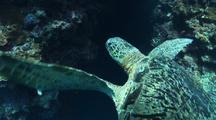 Green Turtle In Front Of Wall Reef, Smooth Truck