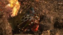 Mantis Shrimp Preening
