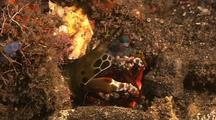 Mantis Shrimp Preening