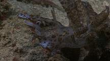 Giant Solar Nudibranch With Zooxanthellae