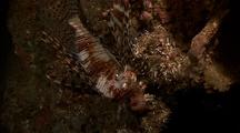 Lionfish, Night Coloration