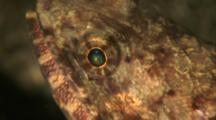 Close Up Lizardfish Face, Eye