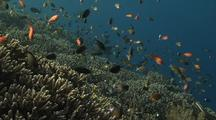 Swarming Anthias Over Coral Reef