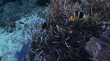 Pair Clark's Anemonefish, Leathery Anemone