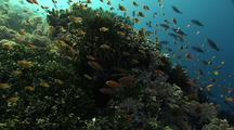 Anthias Feeding Into Current