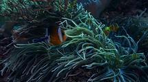Group Of Clark's Anemonefish, Leathery Anemone