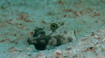Twinspot Goby On Sand