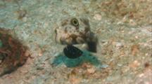 Twinspot Goby Feeds On Sand