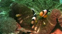 Anemonefish Family