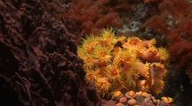 Tubastrea Cup Corals Closing