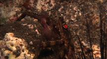 Sally Lightfoot Crab Foraging