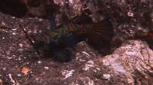 Mandarin Fish Moves Around Reef