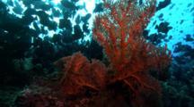 Swarming Triggerfish Behind Golden Seafan
