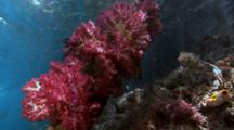 Soft Corals Just Below Surface