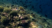 Travel Over Lush Hard Coral Reef With Schooling Fish