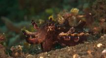 Flamboyant Cuttlefish Flashing