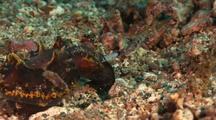 Flamboyant Cuttlefish Feeding