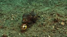 Mating Flamboyant Cuttlefish