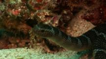 Banded Sea Krait (Sea Snake) Swimming
