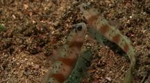 Pair Shrimp Gobies