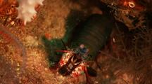 Mantis Shrimp Reacts To Camera