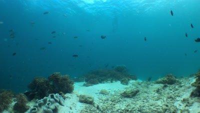 Manta Swims thru Frame left to Right