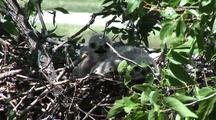 Baby Red Tail Hawk Chicks (4 Days Old)