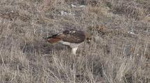 Red Tail Hawk Feeding
