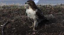 Red Tail Hawk Hunting