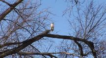 Red Tail Hawk (White Morph)