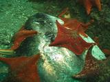 Sea Stars Feed On Dead Ocean Sunfish