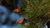 Monarch Butterflies In Pine Tree
