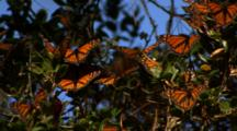 Monarch Butterflies On Branches
