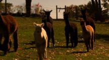 Alpacas Graze In Field