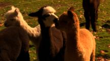 Baby Alpacas In Field