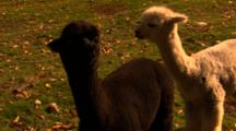 Young Alpacas Graze In Field