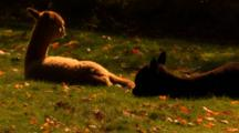 Alpacas Rest In Field