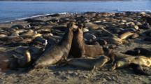 Elephant Seals On Beach, Two Males Fight For Territory