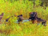 Black Vultures Bathing, Peace River
