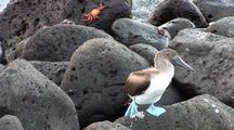 Galapagos Bluefooted Booby