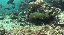 Tropical Fish And  Blue-Chin Parrotfish