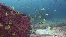 Barberfish/Butterflyfish School