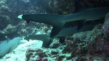 White-Tipped Reef Sharks In Cave