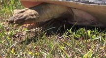 Florida Soft Shell Turtle Building Nest, Attacked By Fire Ants