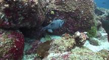 Gunieafowl Pufferfish