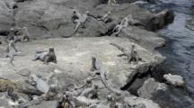 Isabella Island Galapagos Islands Ecuador Black Iguana Reptiles Near Shore On Rocks In South America
