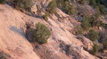 Desert Bighorn Sheep Scramble On Cliffs At The Colorado National Monument Near Fruita, Colorado, USA